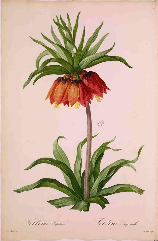 1. PJ RedoutÇ (1759-1840) Fritillaire impÇriale-1807-Paris MNHN ∏ MNHN_Dist. RMN