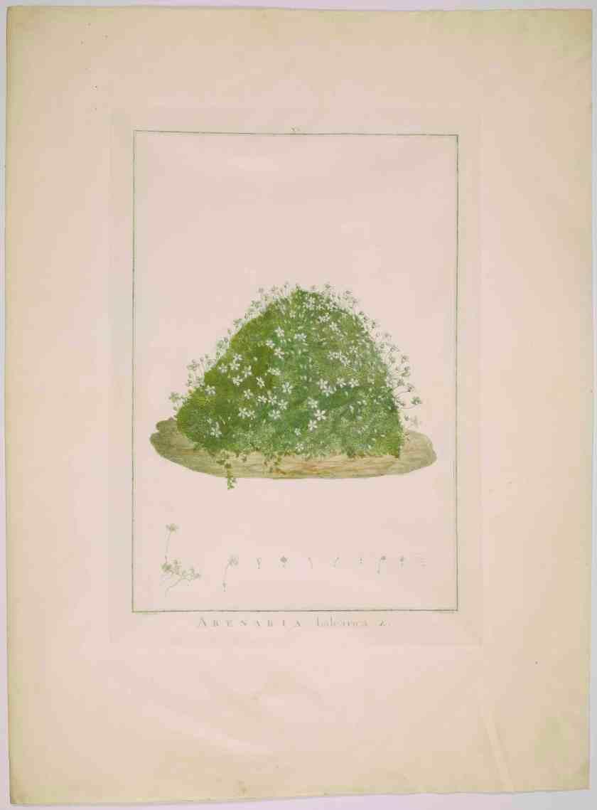 6. Pierre-Joseph RedoutÇ (1759-1840) Stirpes novae Arenaria balearica-pl 15-1748-Paris MusÇe national%